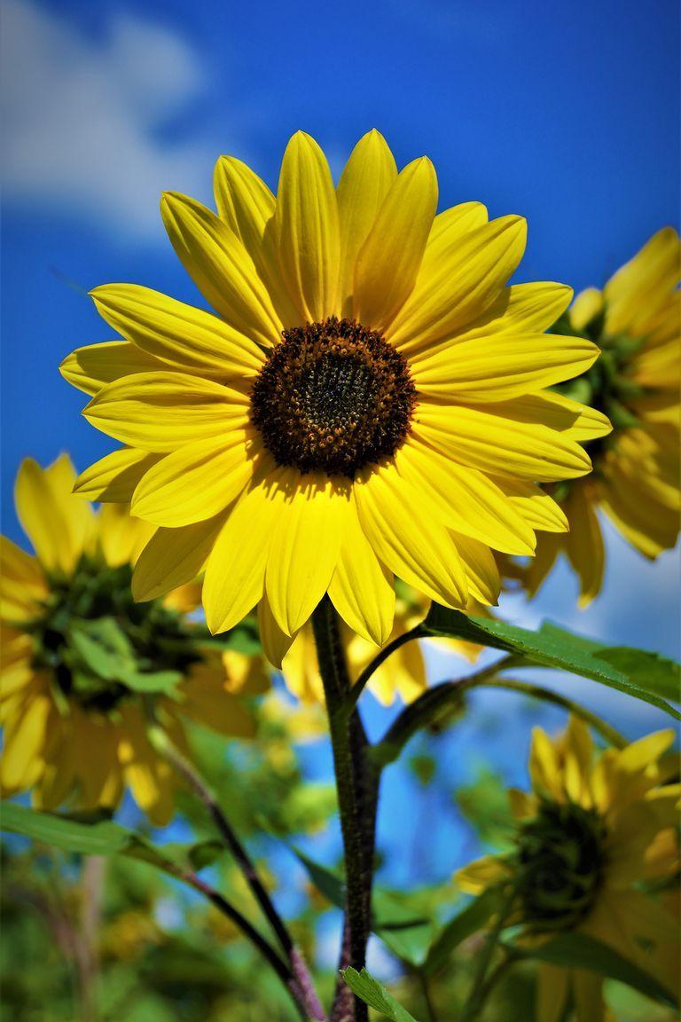 The 30 Prettiest Sunflower Fields Across the U.S. places