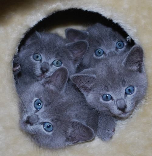 Adorable Russian Blue kittens in New South Wales, Australia • photo: Elizabeth B on Adpost
