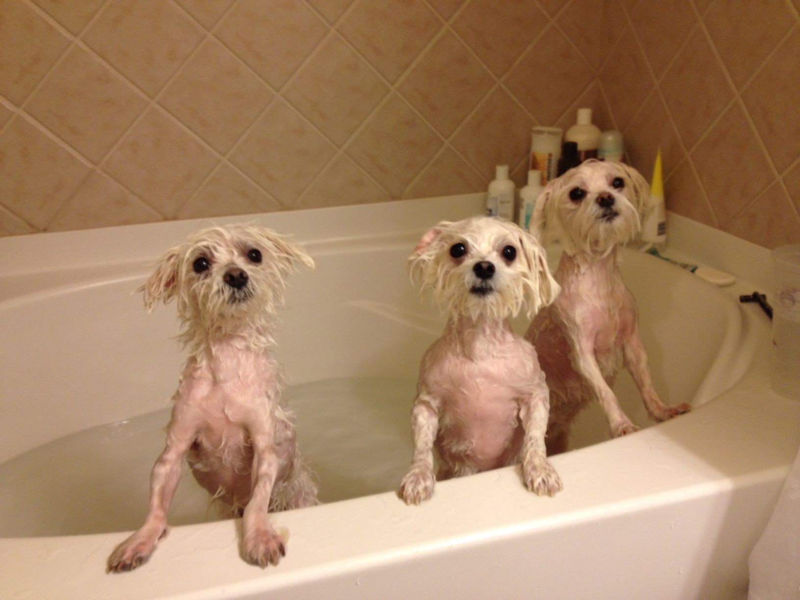 Pin Em Maltese Adorable Dogs They Look Like My Sydney Khloe