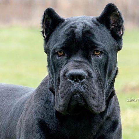 One Of Alma S Cousins A Crisso Dell Ercole Puppy She S A Beautiful