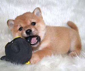 donne chiot shiba inu ou akita inu attention arnaque cl o pinterest chiot chien et chien. Black Bedroom Furniture Sets. Home Design Ideas