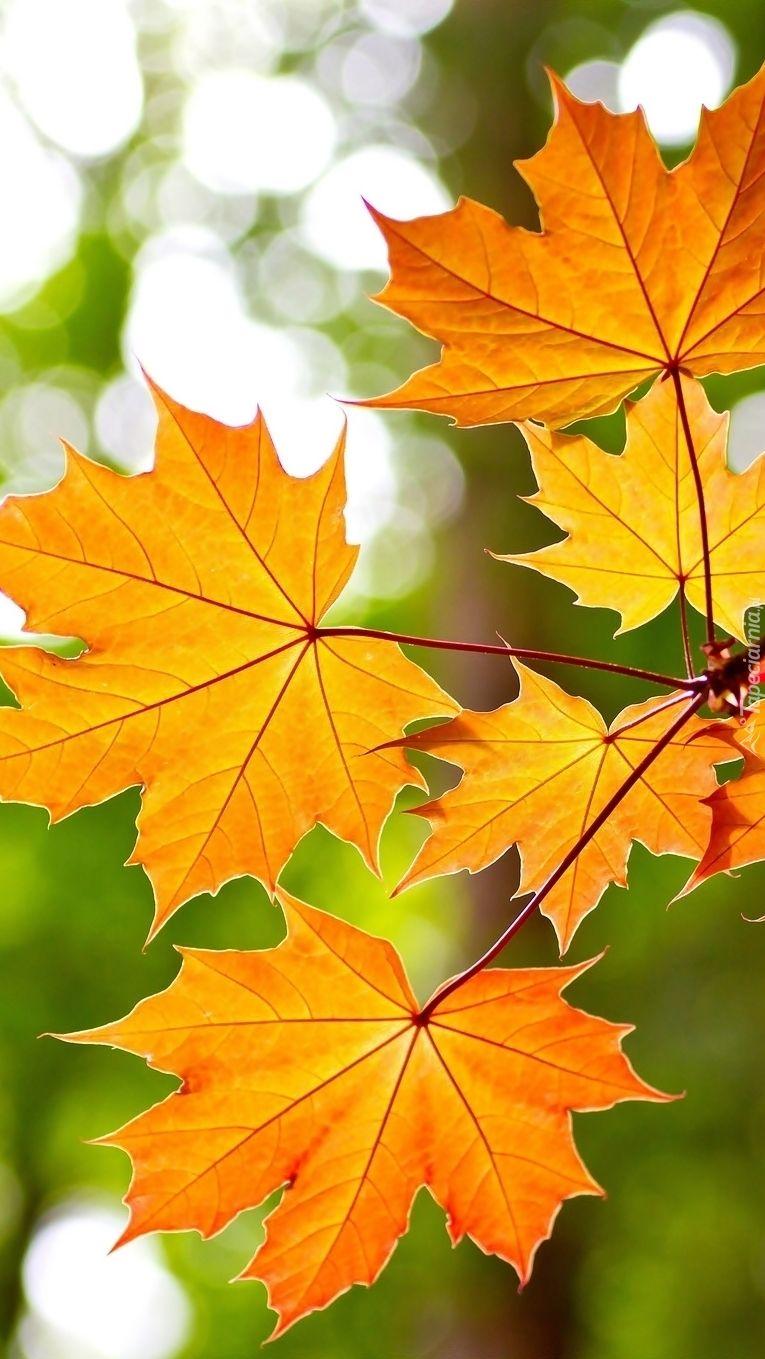 Jesienna Kolorowa Klonowa Galaz Plant Leaves Carousel Horses Plants