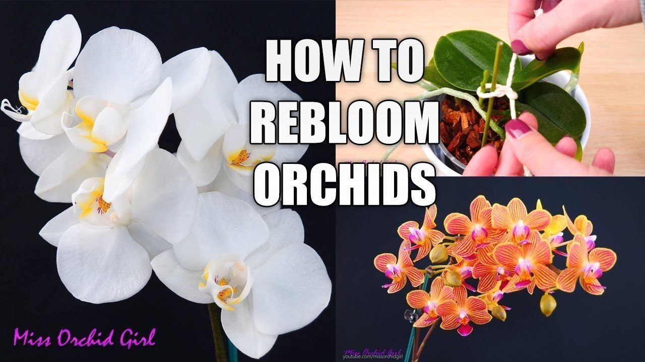 Pin On Orchids Care For Beginners