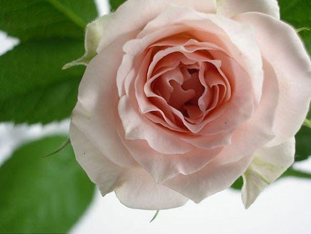Amazing Loving Earth (Autumn Rose) - Community - Google+