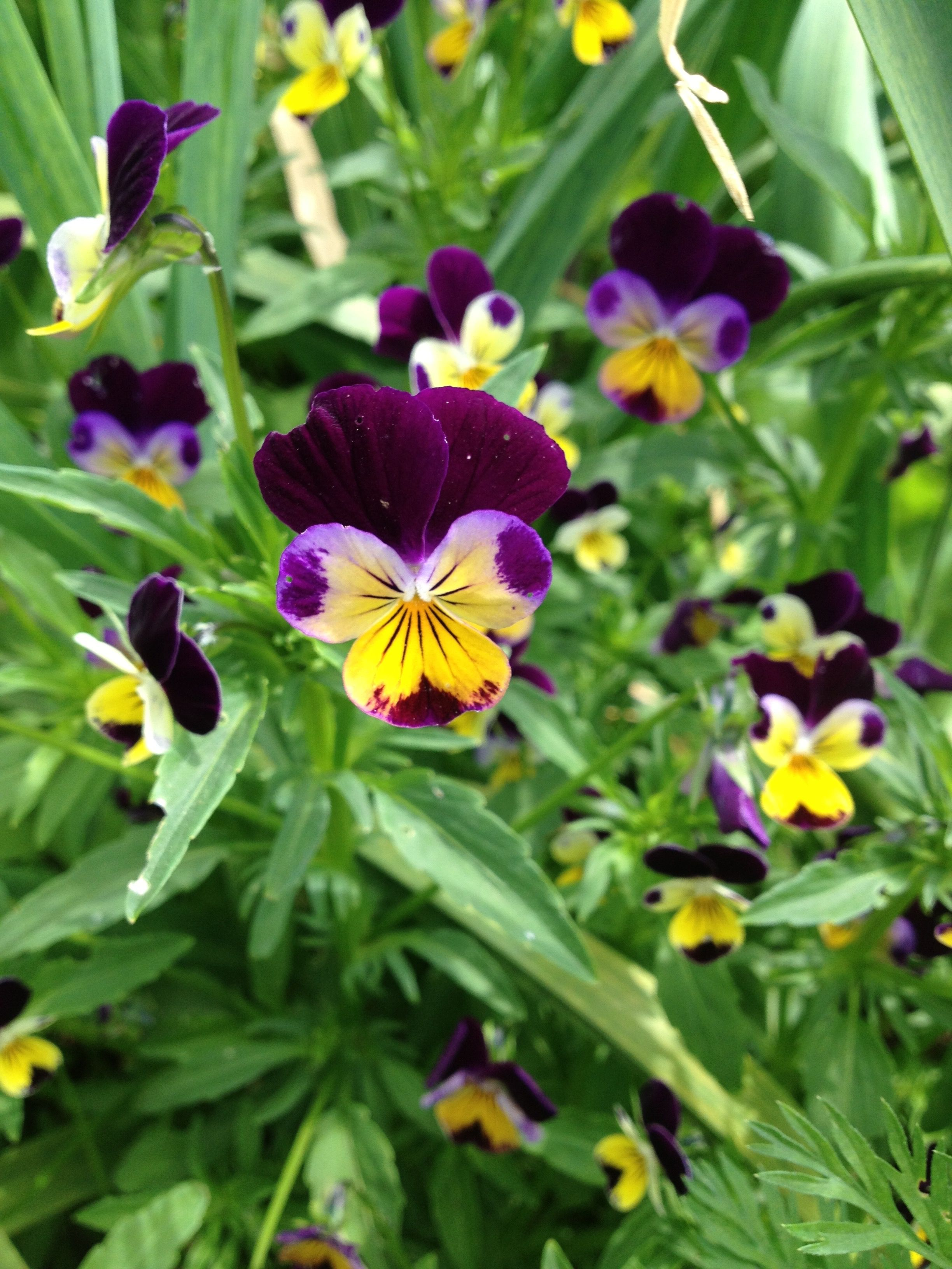 Johnny jumpup viola edible flower april 2013 with