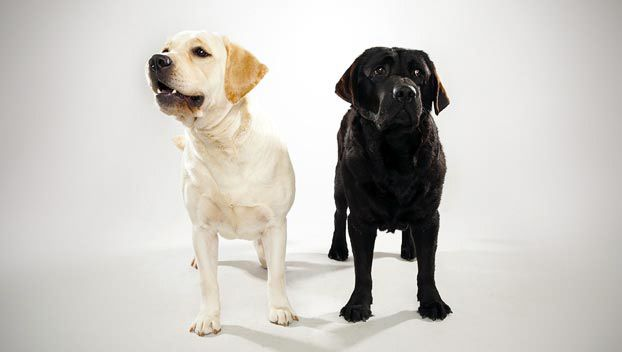 Labrador Retriever Dog Breed Selector Dog Breed Selector