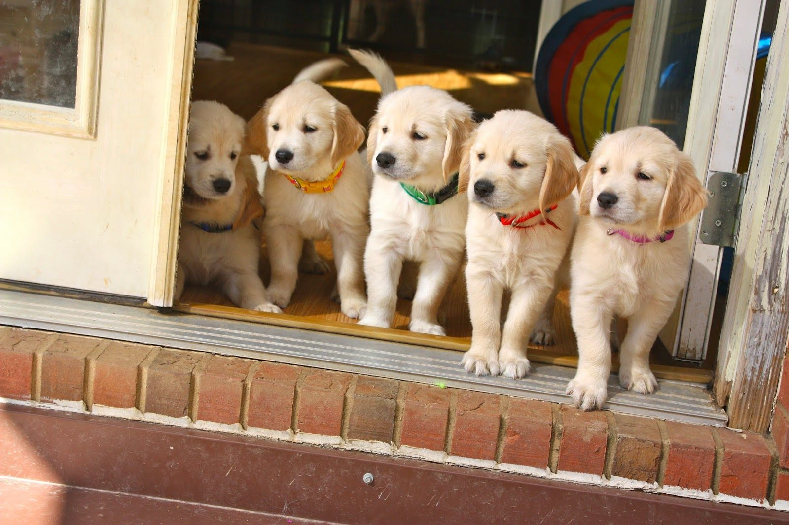 Paws4people Foundation Golden Retriever Puppies Training To Be