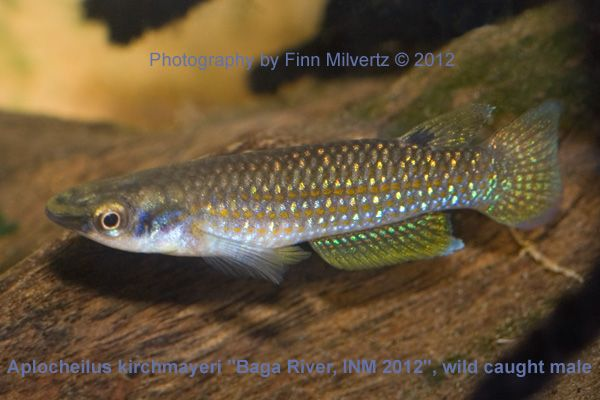 "Aplocheilus kirchmayeri ""Baga River, INM 2012"""