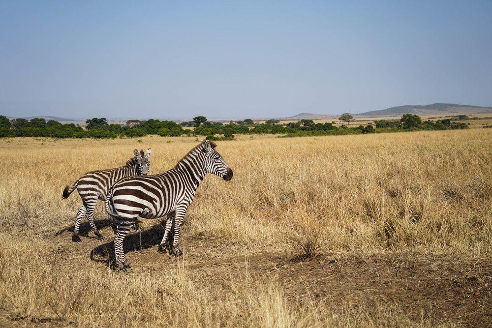 Maasai Mara Cool places to visit, Kenya, Zebras
