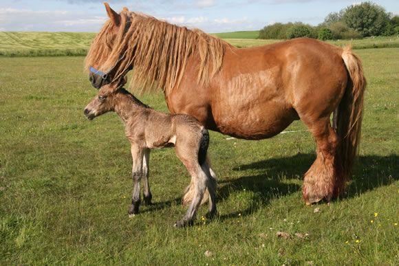 hesteavl