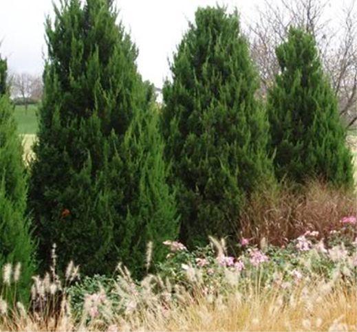 Spartan Junipers Juniperus Chinensis Spartan Ht 15 17 Ft Spd 4 5 Ft Full Sun Low Water Needs Xeric This Junipe Evergreen Shrubs Shrubs Landscape Plans