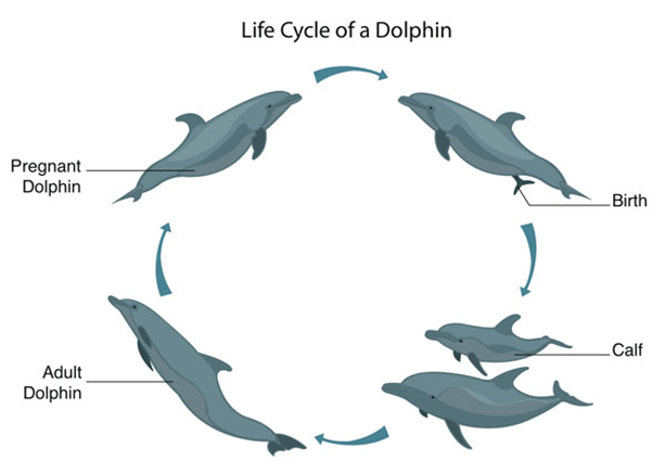 life cycles of a dolphin bire 1andwap com rh bire 1andwap com bottlenose dolphin prey and predator what do bottlenose dolphins eat