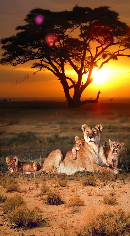 Lioness with lion children