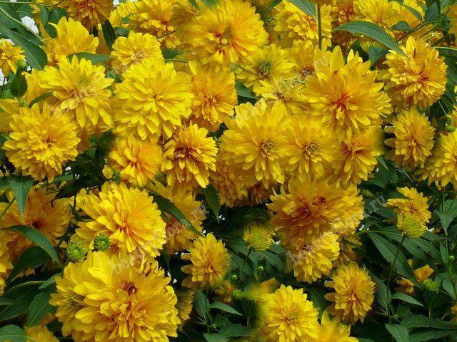 Купить золотой шар цветы