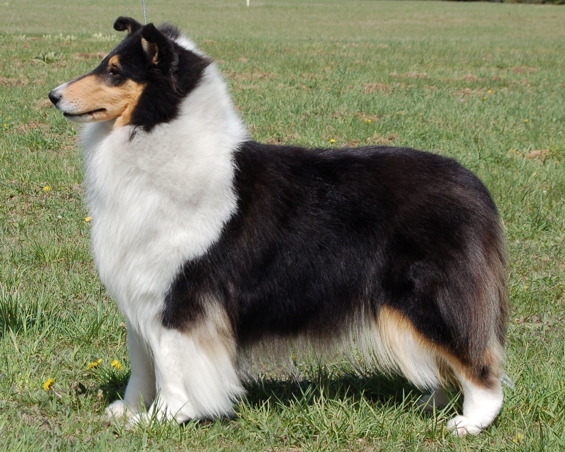 Ch Marleste Lochlaren Hey There Hic Tri Color Collie