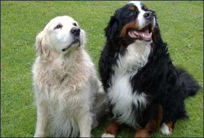 Golden Retriever Bernese Mountain Dog Dogs Dog Shots Bernese