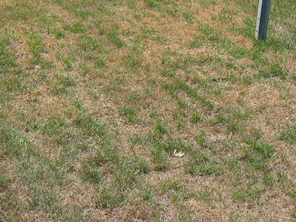 Your Summer Lawn Isn T Dead It S Just Dormant Read Our Blog To Find Out The Difference Lawn Summer Lawn Overseeding Lawn