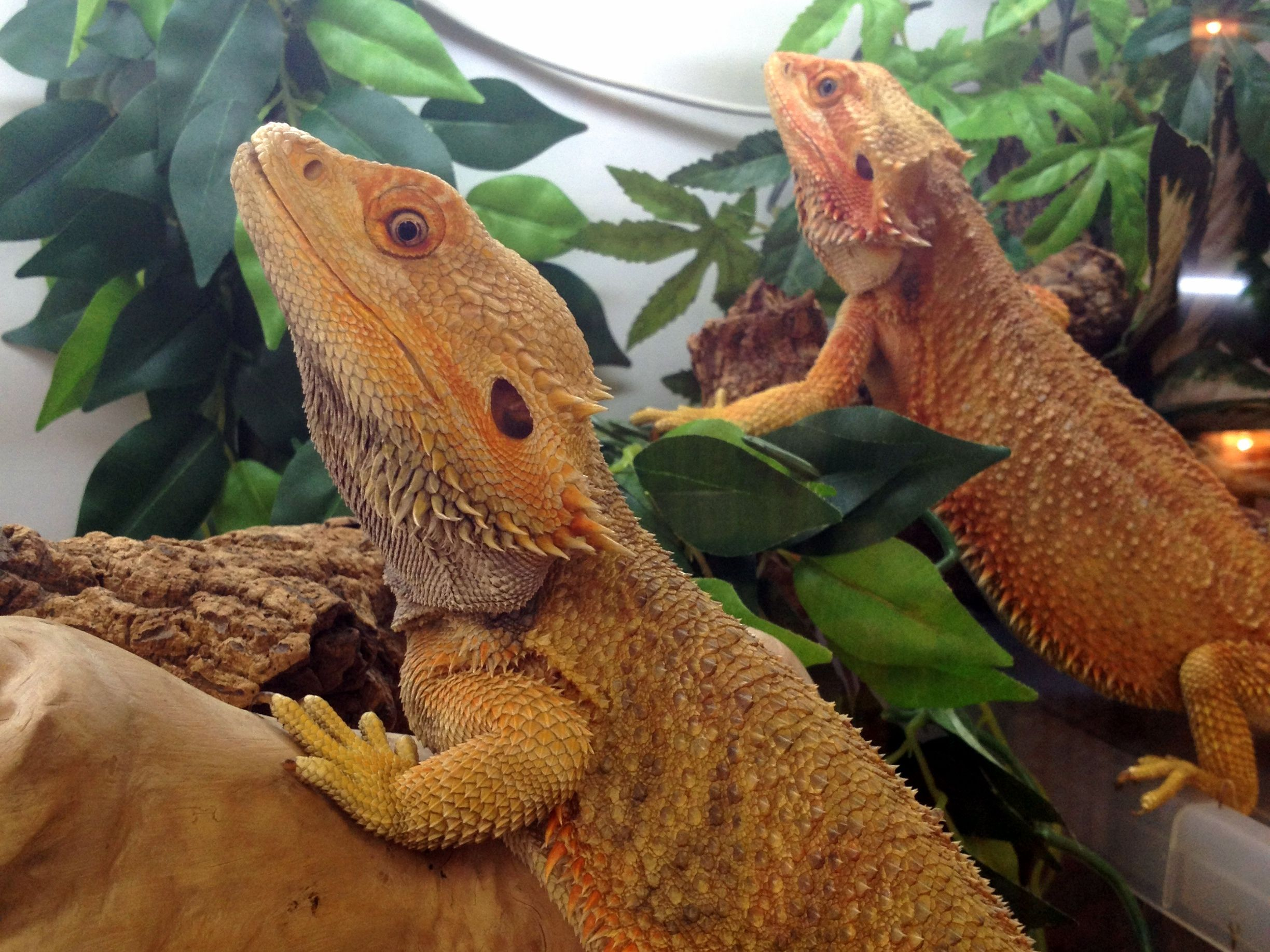 2 Of Our Adult Bearded Dragons At Northampton Reptile Centre