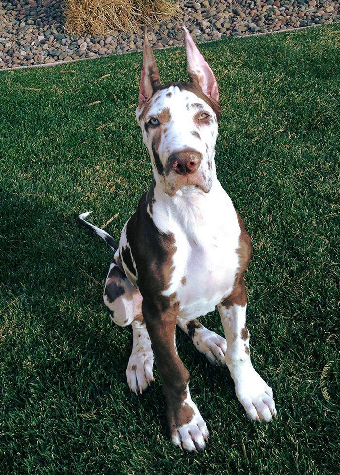 Photo of Silas enorme a los 3 meses. # gran cachorro danés # arlequín # orejas puntiagudas #gr …