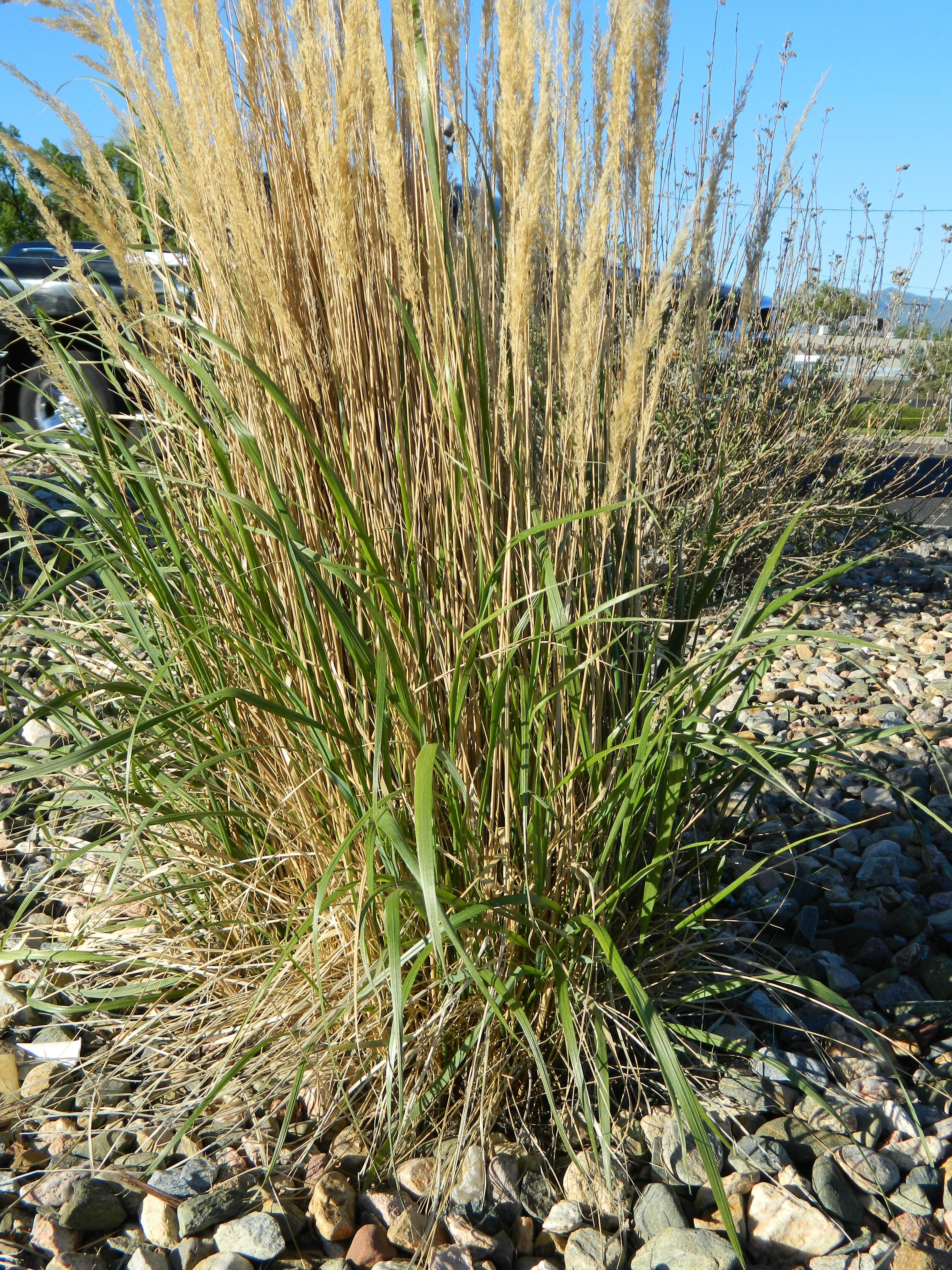 Common Ornamental Grasses Pruning karl foerster grand grasses pinterest grasses feather karl foerster feather reed grass calamagrostis x acutifolia karl foerster is the most common ornamental grass planted in colorado landscapes workwithnaturefo