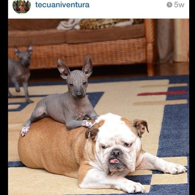 Bull riding @Ventira Tecuaniventura  #igbulldogs_Russia  #igbulldogs_worldwide #Padgram