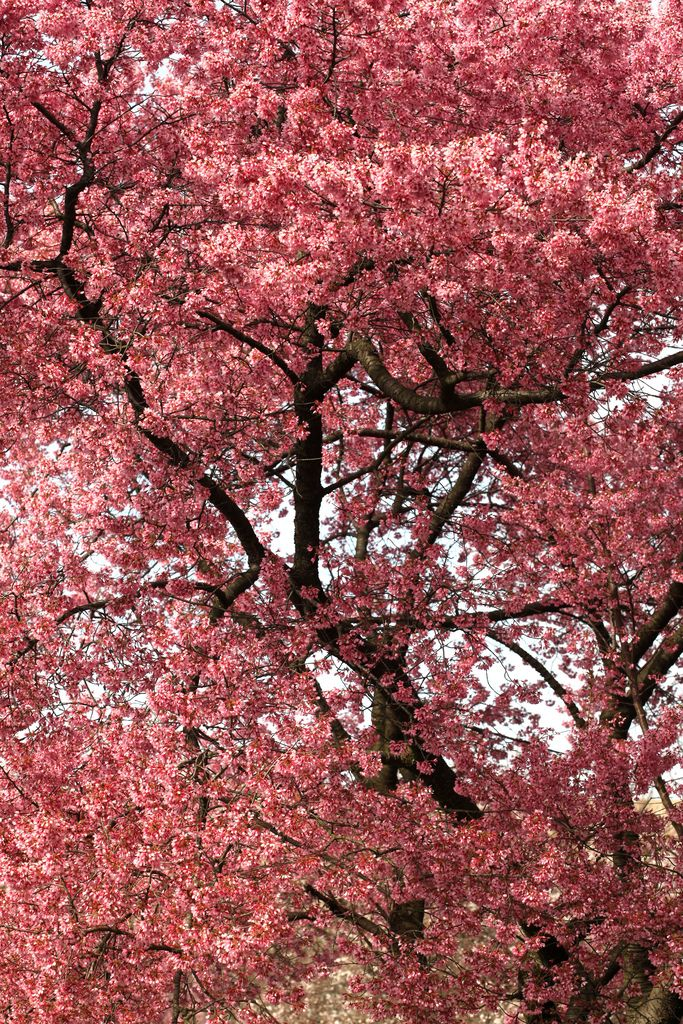 Trees In Bloom Take Shelter Under These Blossoms Blossom Trees Pink Cherry Blossom Tree Japanese Cherry Tree