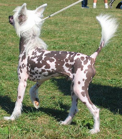Hairless Chinese Crested Dog My Son Spike Is A Hairless