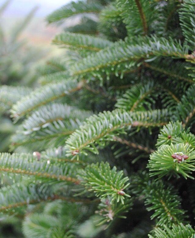An Evergreen Christmas Christmas Tree Farm Cedar Trees Tree Farms