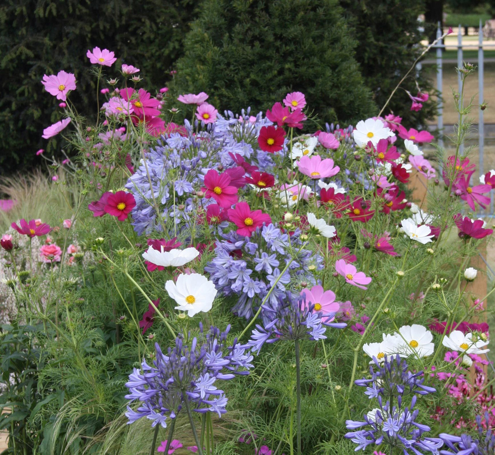 Cosmos So Easy To Grow You Can Plant And Neglect It Cosmos Flowers Flower Seeds Annual Flowers