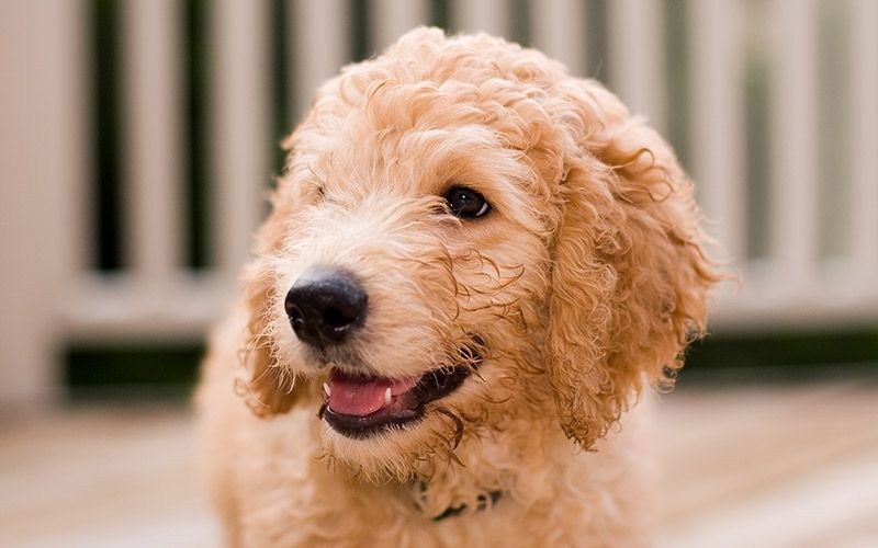 Mini Labradoodle The Miniature Poodle Labrador Retriever Mix