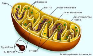 Mitochondria It S Structure Function Mitochondrial Disease Cell Biology Biology