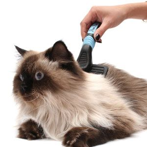 Bathing a himalayan cat