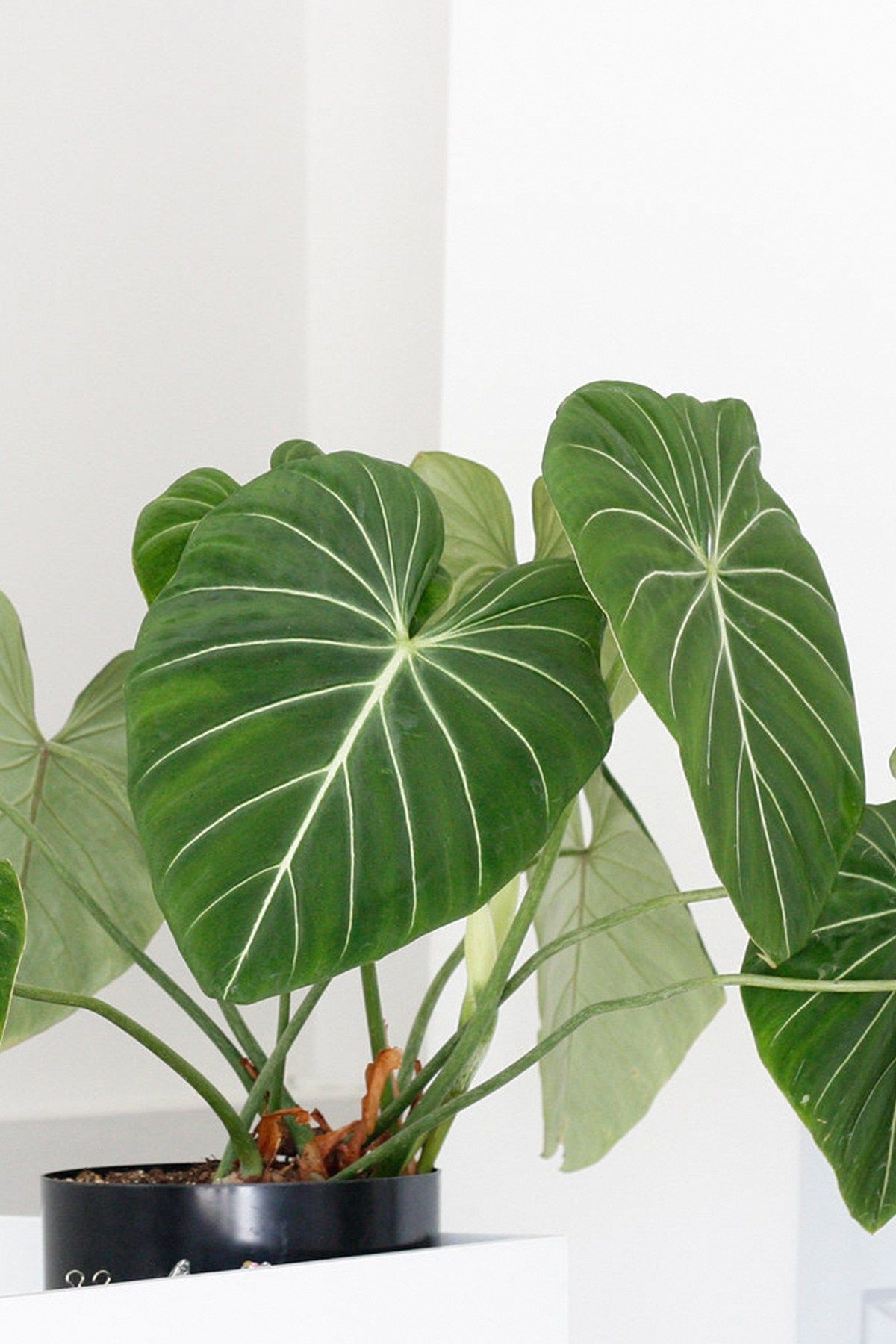 7 Heart Shaped Plants Perfect For Valentine S Day Ctrl Curate Plants Foliage Plants Philodendron