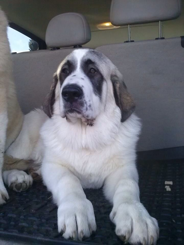 Handsome Sim Great Pyrenees And Anatolian Shepard Mix Great