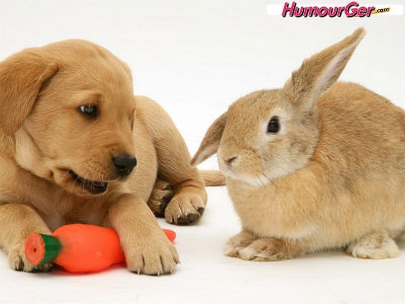Yellow Labrador Retriever Puppy With Squeaky Toy Carrot And Young Sandy Lop Rabbit Photographic Print Jane Burton Allposters Com In 2020 Cute Animals Labrador Retriever Puppies Cute Animal Pictures