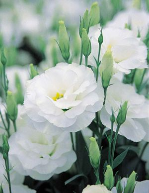 LOVE Lisanthus (Rosa, Lilas e Branco)