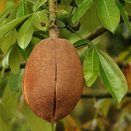 Malabar Chestnut (Pachira aquatica) is a tropical wetland tree native to Central and South America. Other common names are Guiana chestnut, Saba nut and Pumpo