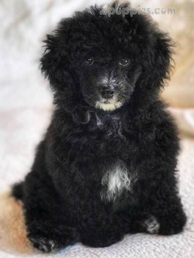 Poodle Dogs For Sale In United States Washington Vancouver
