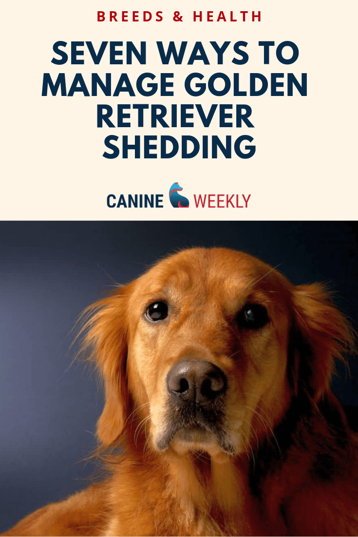 Golden Retrievers Are One Of The Heaviest Shedding Breeds In The World This Breed Shed Enough To Leave A Golden Retriever Retriever Golden Retriever Training