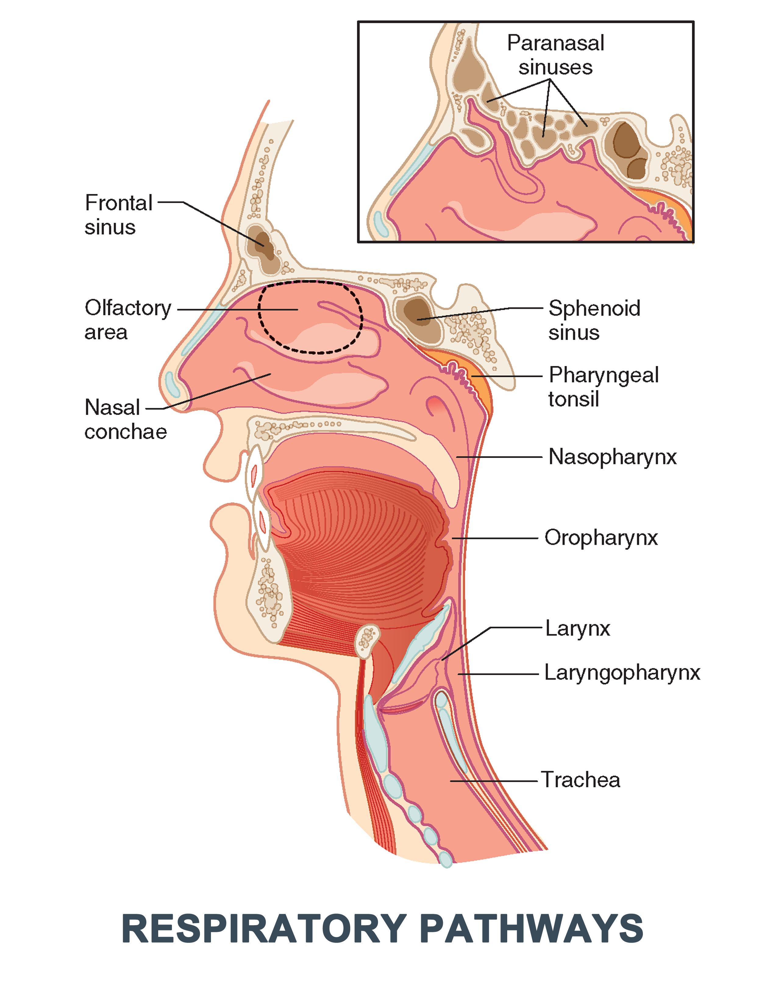Anatomy For Cardiac Electrophysiologists A Practical Handbook 1st