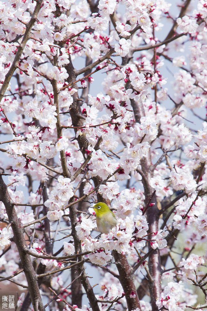 Overflow Feast Sakura Tree Beautiful Birds Cherry Blossom