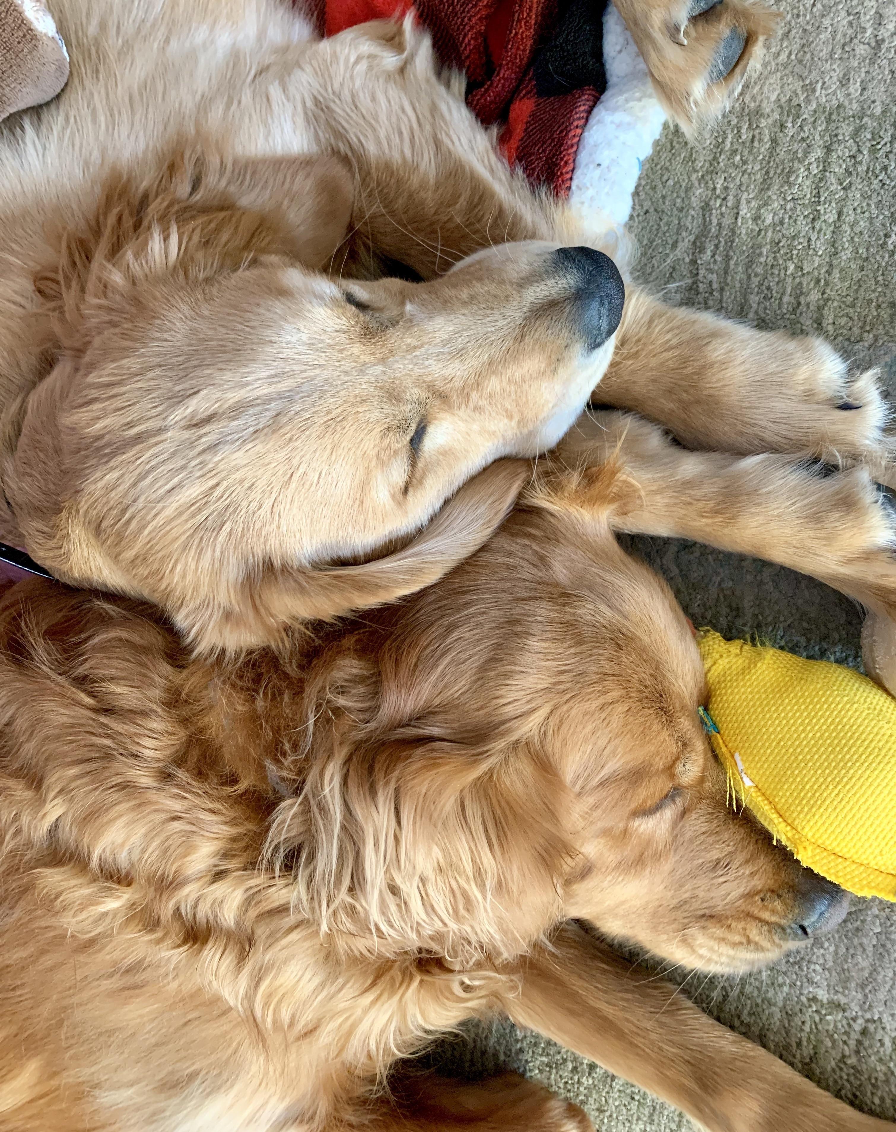 Love My Sleeping Puppers Goldenretriever Dogs Golden Retriever Cute Creatures Cute Dogs