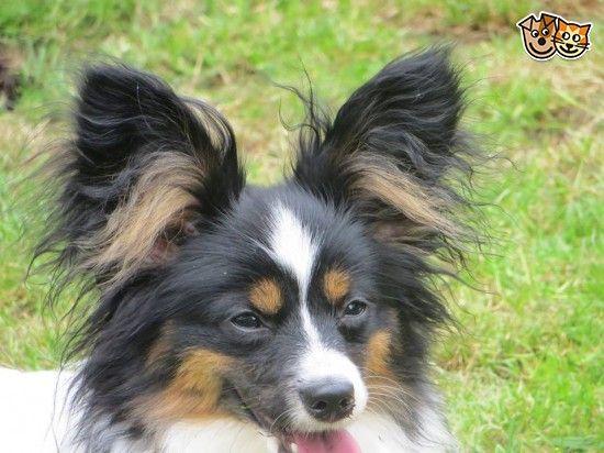 Papillon Tri Boy For Sale Dogs Dog Toys Beautiful Boys