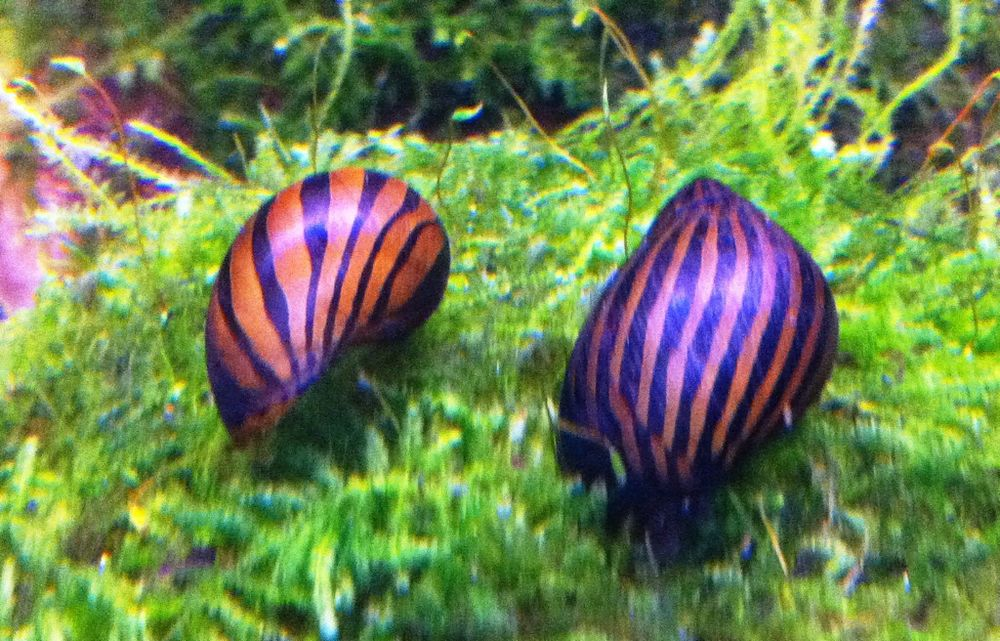 Nerite Snail Eggs Care Algae Eating Tips And Lifespan All About Nerite Snails Goodmorning Aquarium Fish Snail Fish Tank