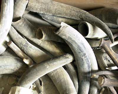 Raw horn material (buffalo horn) | Western photos and