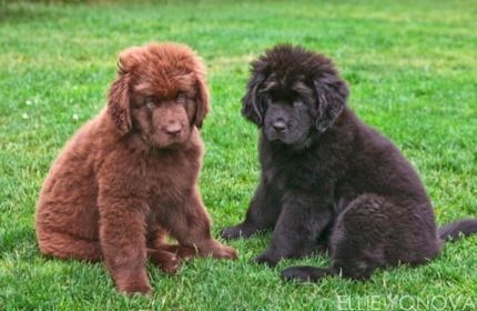 The Best Dry Mouth Newfoundland Dogs Around Jemm Kennels
