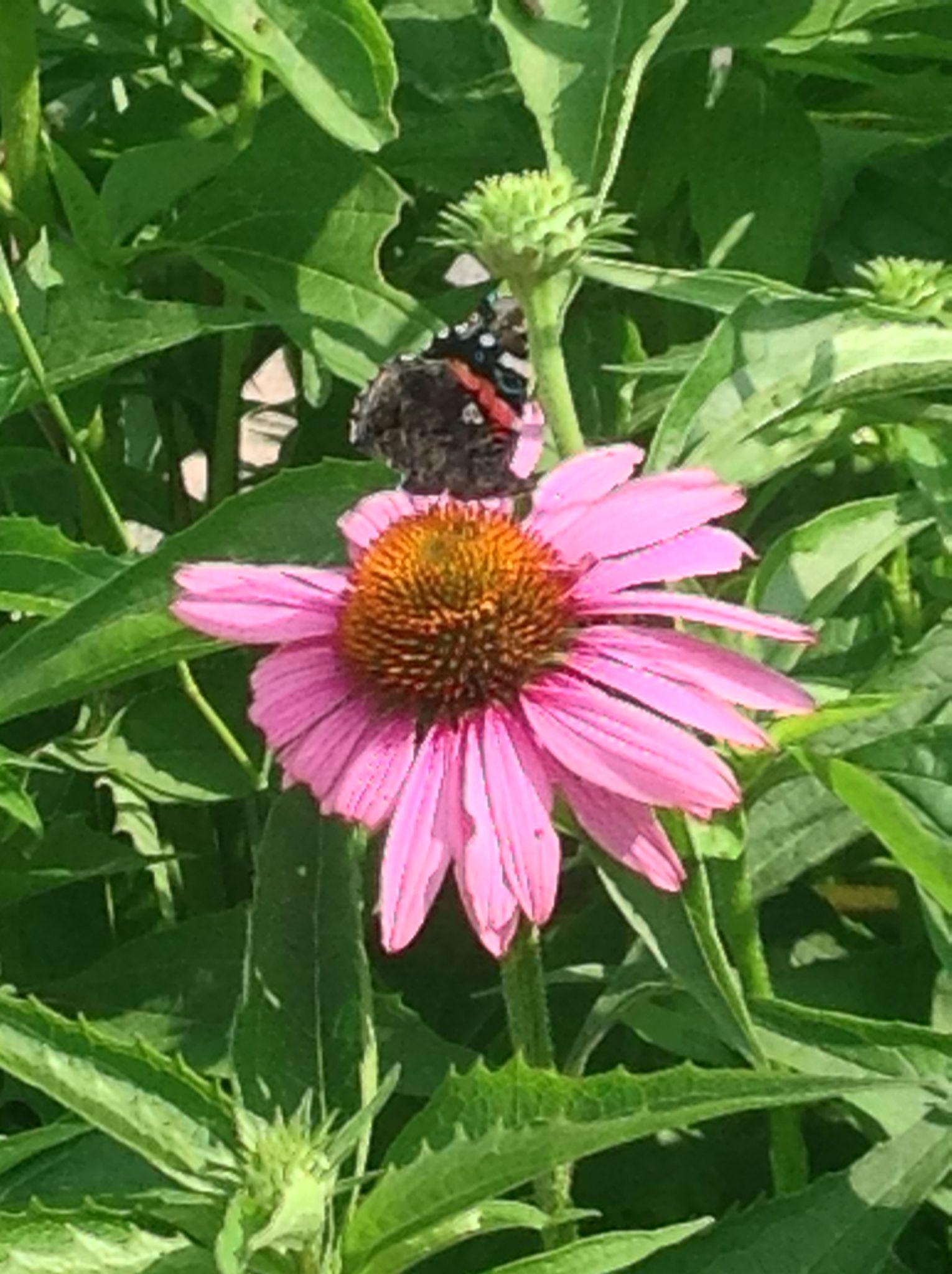 Butterfly on coneflower~