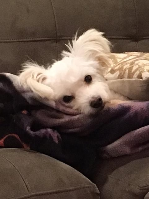 Adopt Mr Ears On Pet Finder Pets Maltese Dogs