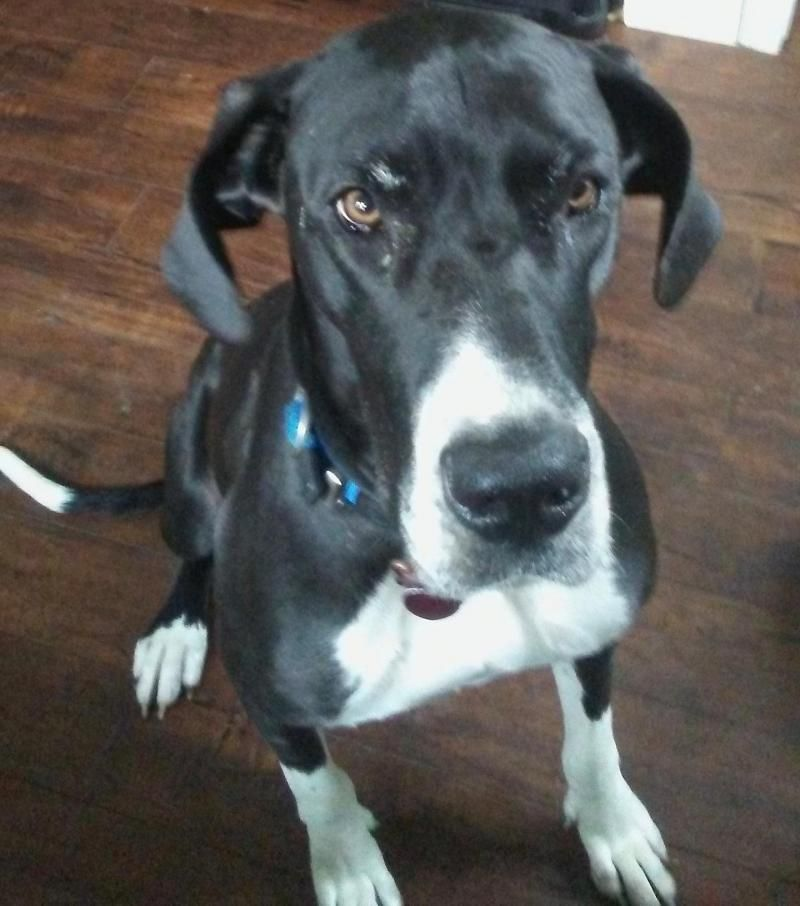 Adopt Daisy on Great dane dogs, Pets, Great dane rescue