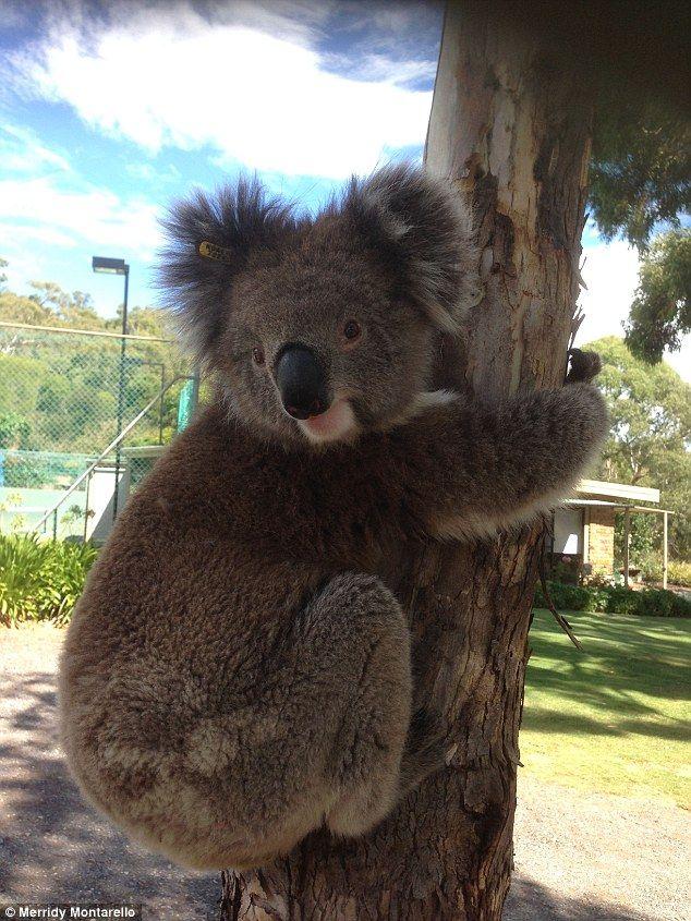 Curious koala climbs up cyclist's wheel for a cool drink